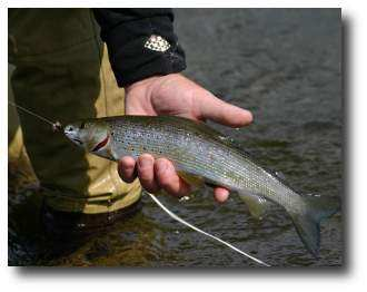 Photo of Arctic grayling at the Gulkana River, Paxson, Alaska. Photo by Phil Coleman, US FWS